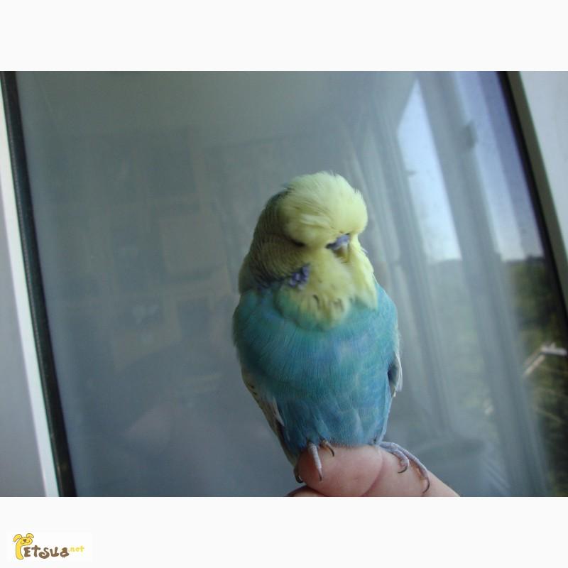 Фото 2/12. Выставочные волнистые попугаи чехи