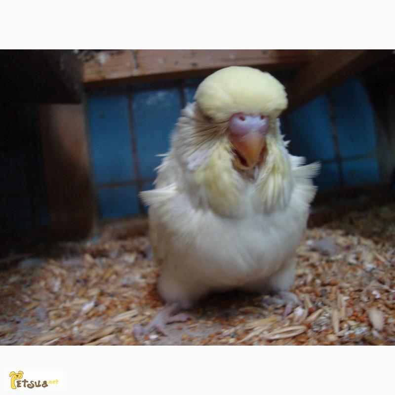 Фото 3/12. Выставочные волнистые попугаи чехи