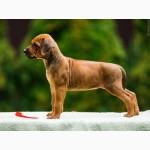 Продаются щенки Родезийского Риджбека