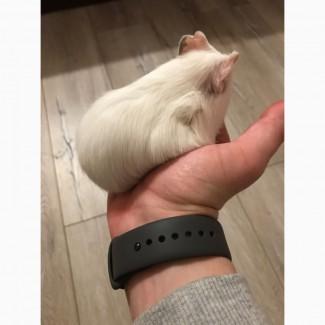 Отдам морскую свинку :)