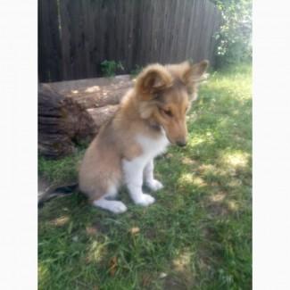 Продается породистый щенок шелти