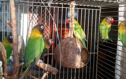 Фото 2/4. Продам попугаи Неразлучники Фишера