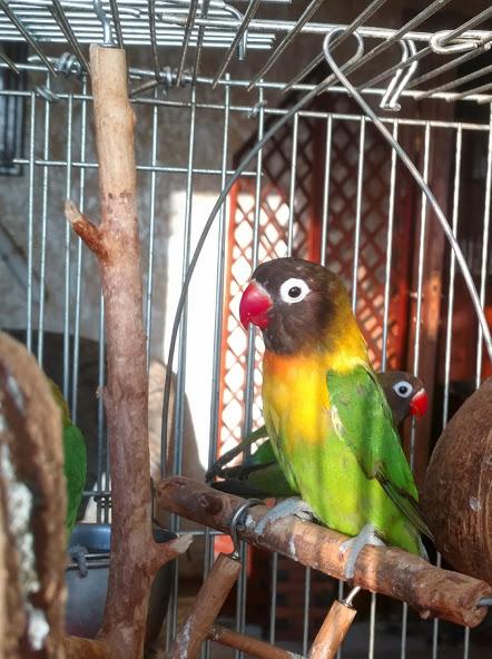 Фото 3/4. Продам попугаи Неразлучники Фишера