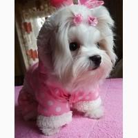 Девочка - милашка, 4 мес., щенок мальтийской болонки (мальтезе)