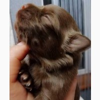 Продаю шоколадных щенков чихуахуа