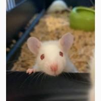 Отдам в добрые руки крысят альбиносов