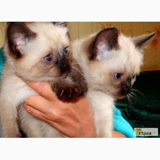 Тайские длинношерстные котята(ровно 2 месяца от роду)