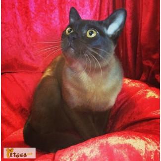 Бурма - европейский тип (чистокровные котята)