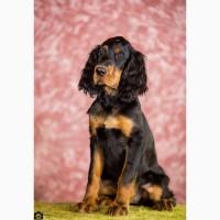 Продам щенков Шотландского сеттера (гордон сеттера)