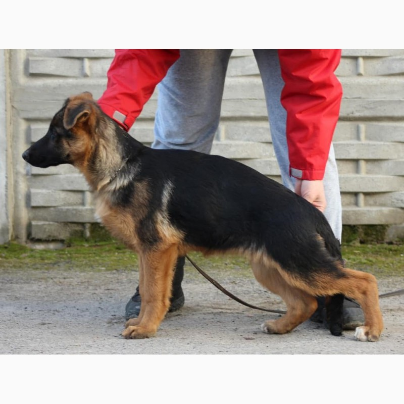 Фото 2. Подрощенные щенки немецкой овчарки КСУ/FCI