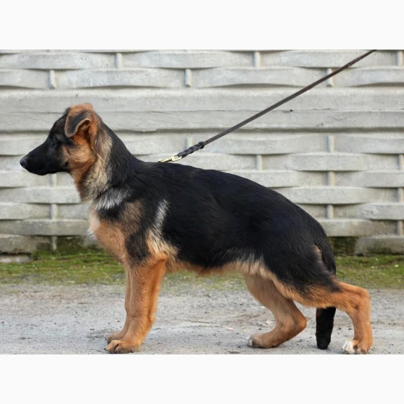 Фото 3. Подрощенные щенки немецкой овчарки КСУ/FCI