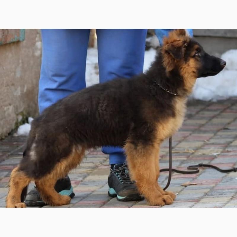 Фото 4. Подрощенные щенки немецкой овчарки КСУ/FCI