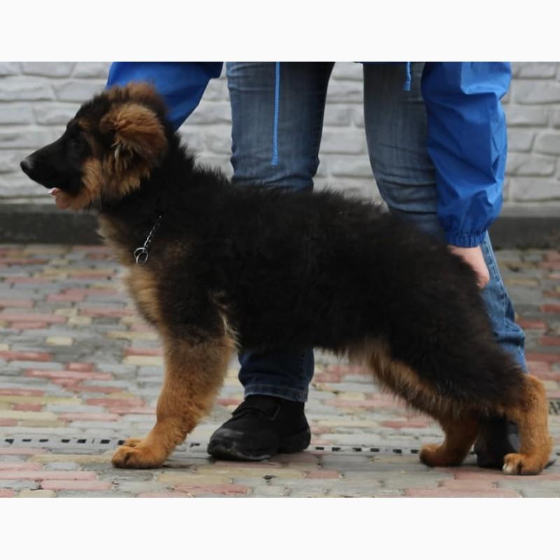 Фото 5. Подрощенные щенки немецкой овчарки КСУ/FCI