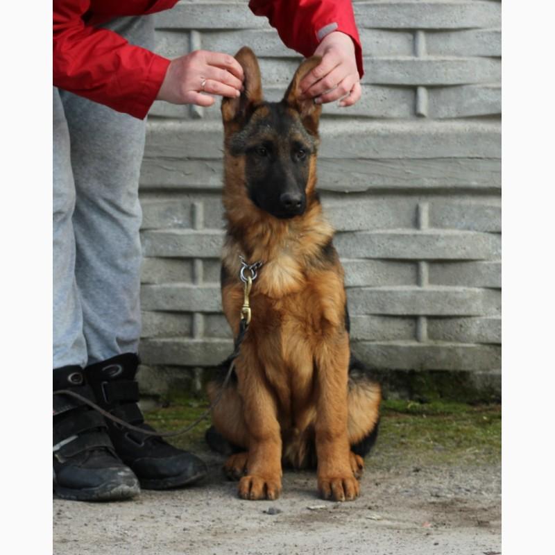 Фото 6. Подрощенные щенки немецкой овчарки КСУ/FCI