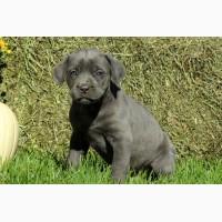 Bright Cane Corso Puppies