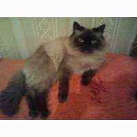 Невский маскарадный кот. Вязка