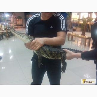 Продам Нильского крокодила