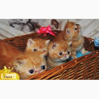Продажа котят (экзоты)