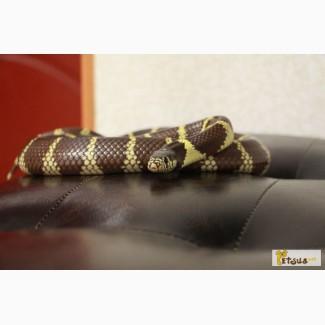 Продаеться змея