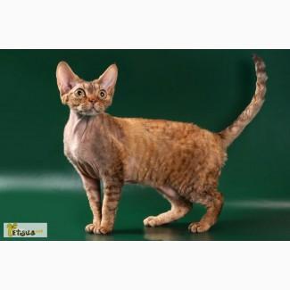 Нарядные котята девон рексы