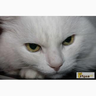 Продам белых ангорских котят