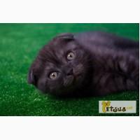 Продается черный дымчатый котенок (окрас Black Smokee, ns) по кличке Max, 2 мес, видео