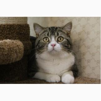 Шотландские породистые клубные коты и кошка