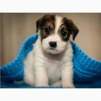 Джек Рассел Терьер купить щенка, питомник