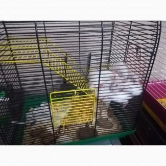 Отдам в хорошие руки крысят Дамбо