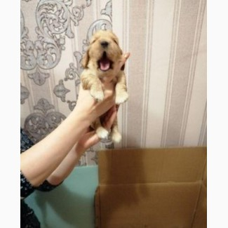 Продам щенков английского коккера
