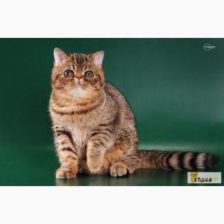 Экзоты, экзотические короткошерстные котята