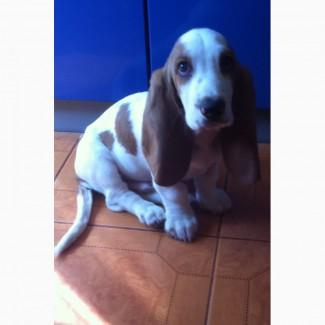 Продам щенка Бассет-хаунда