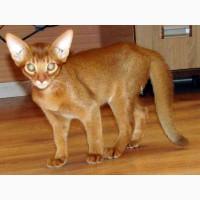 Продам аббисинских котят