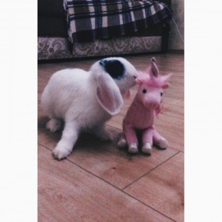 Продам кролика породы вислоухий баранчик