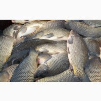 Куплю свежую рыбу