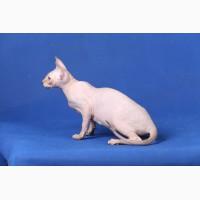 Котята породы Эльф, бамбино, канадский сфинкс, племенная пара
