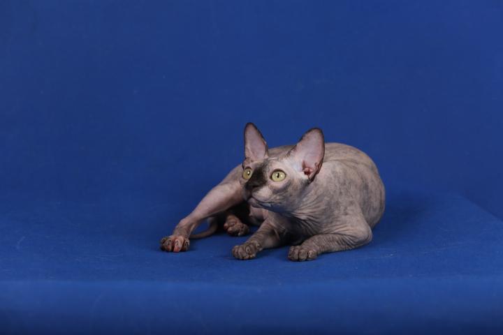 Фото 6. Котята породы Эльф, бамбино, канадский сфинкс, племенная пара