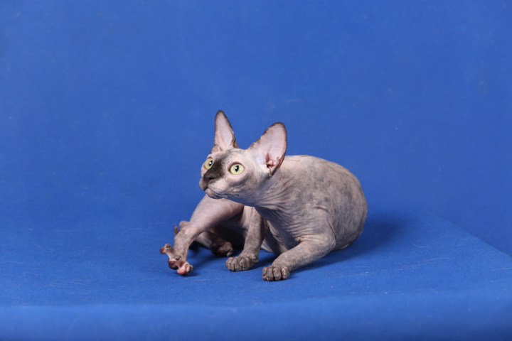 Фото 7. Котята породы Эльф, бамбино, канадский сфинкс, племенная пара