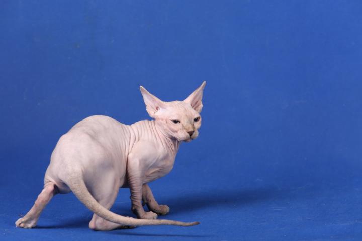 Фото 8. Котята породы Эльф, бамбино, канадский сфинкс, племенная пара
