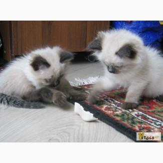 Ласковые балинезийские котята