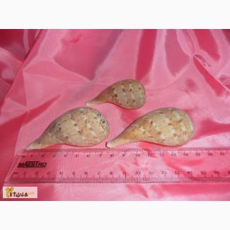 Морская ракушка Фикус Грацилис (Ficus gracilis)Цена за все!