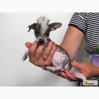 Продам щенки мексиканской голой Ксоло
