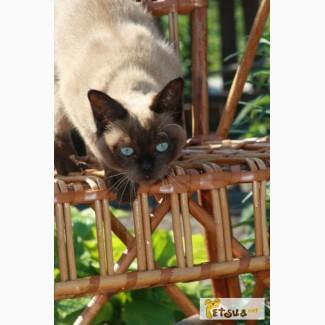 Тонкины котята