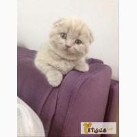 Вислоухий шотландский лиловый котенок (девочка) скоттиш фолд (scottish fold)
