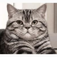 Шотландский кот Scottish Straight ns 22 для вязки шотландской вислоухой кошки в Киеве, при
