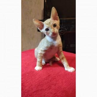 Милый котёнок-мальчик ( метис канадского и донского сфинкса) браш ищет любящих хозяев)