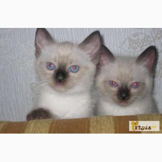 Котята с голубыми глазами