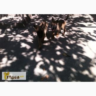 Продам щенков Бельгийской Овчарки (малинуа) КСУ