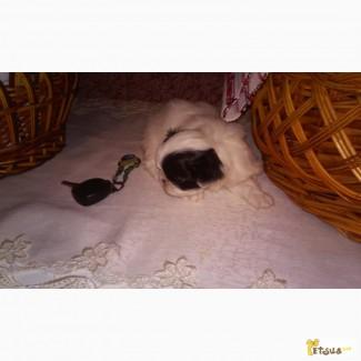 Продается щенок японского хина