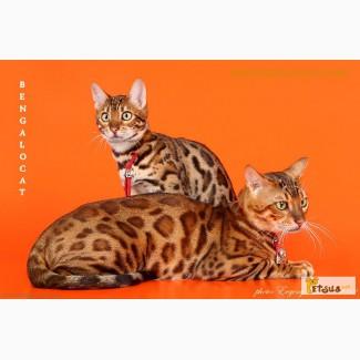 Бенгальские котята, питомник